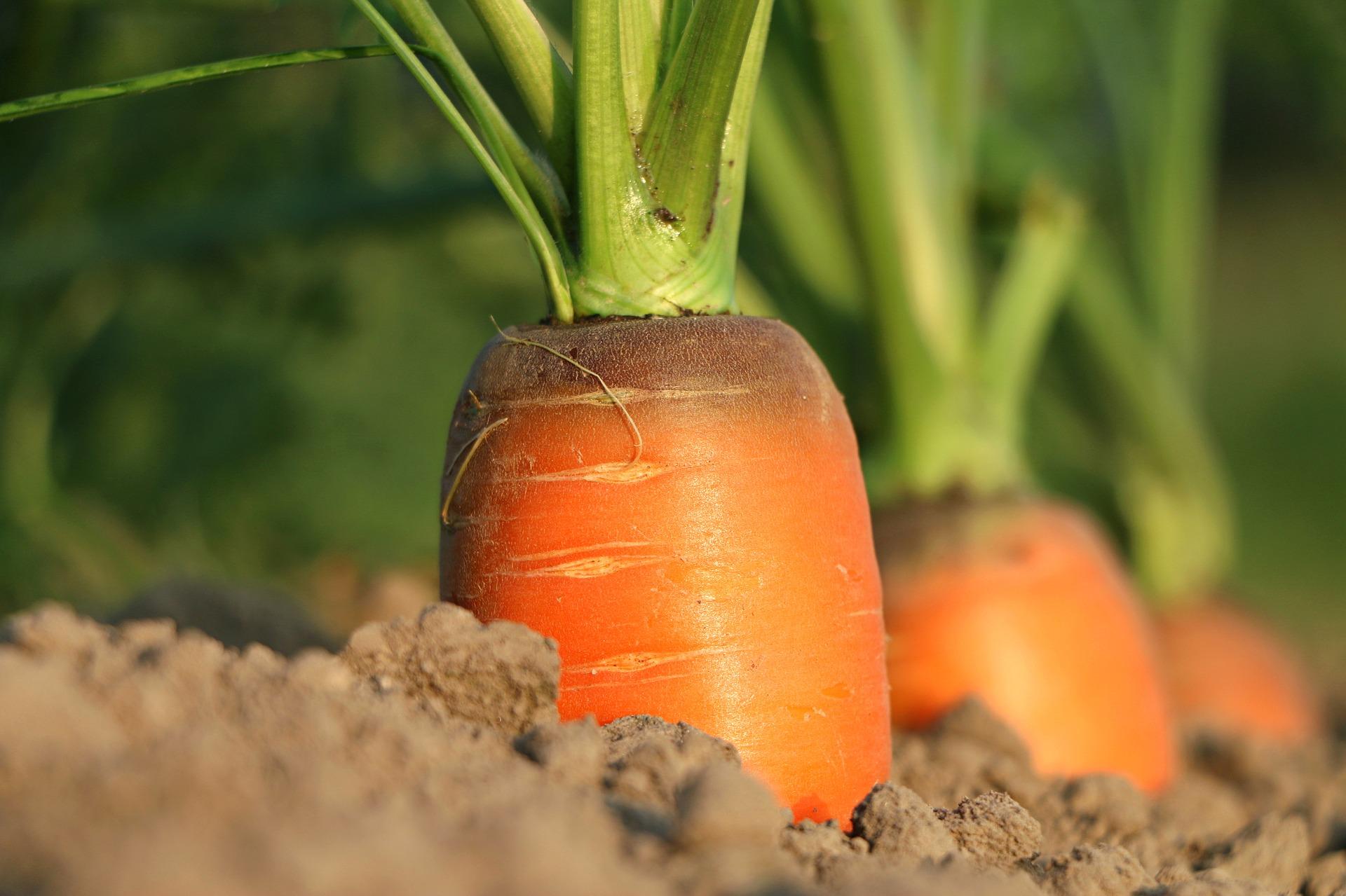 gulerod, vækst, grøntsager, landbrug