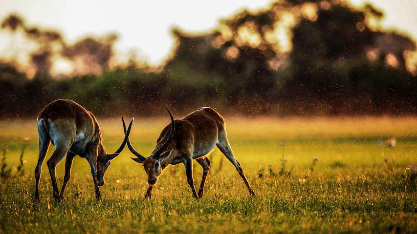 Safari_antiloper