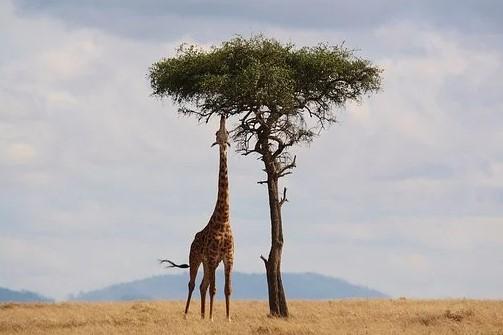 Safari_giraf